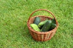 Organische komkommers Royalty-vrije Stock Afbeeldingen