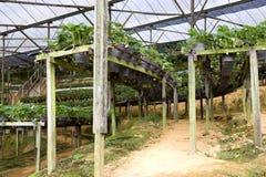 Organische Landwirtschaft der Erdbeeren Stockbild