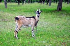 Organische Landwirtschaft Eine graue Ziege mit großen Hörnern lässt auf einer Wiese weiden Lizenzfreie Stockfotos