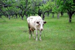 Organische Landwirtschaft Eine Kuh lässt in einer Wiese weiden Stockbild