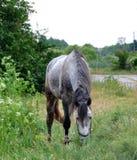 Organische Landwirtschaft Grauschimmel, der Gras auf einer Wiese isst Lizenzfreies Stockbild