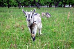 Organische Landwirtschaft Kleine Ziege mit den Hörnern, die in der Wiese weiden lassen Lizenzfreies Stockbild