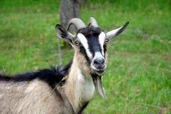 Organische Landwirtschaft Porträt einer Ziege auf einem grünen Hintergrund Lizenzfreies Stockbild