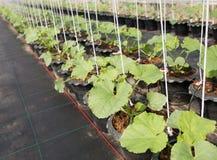 Organische Melonenanlage Lizenzfreie Stockfotos