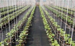 Organische Melonenanlage Stockbilder