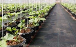 Organische Melonenanlage Lizenzfreies Stockfoto