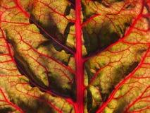 Organische moestuin: de zonovergoten rode macro van het snijbietenblad Stock Foto's