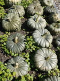 Organische moestuin: pompoenoogst Royalty-vrije Stock Foto's