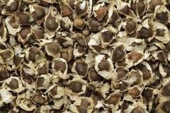Organische Moringa (oleifera Moringa) zaden stock fotografie