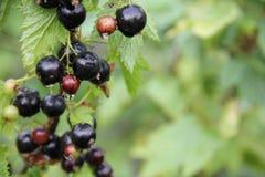 Organische Niederlassungen der schwarzen Johannisbeere Lizenzfreies Stockbild