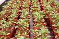 Organische pepercultuur Stock Foto's