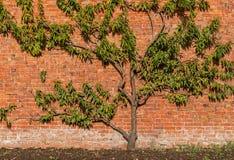 Organische Perzikboom Royalty-vrije Stock Foto