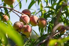 Organische perziken op de boom Stock Fotografie