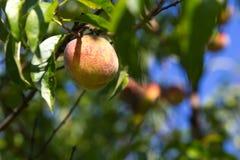 Organische perziken op de boom Stock Foto's
