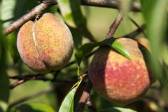 Organische perziken op de boom Stock Afbeelding