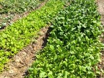 Organische plantaardige die percelen met installaties in rijen worden geschikt stock fotografie