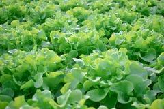 Organische Plantaardige salade met verse groene bladeren en smakelijk royalty-vrije stock foto