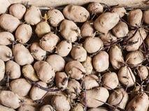 Organische pootaardappelen in houten doos Stock Afbeeldingen