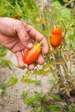 Organische rijpe Hand van jonge mensen die rijpe tomaten oogsten Royalty-vrije Stock Fotografie