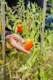 Organische rijpe Hand van jonge mensen die rijpe tomaten oogsten Stock Fotografie