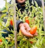 Organische rijpe Hand van jonge mensen die rijpe tomaten oogsten Stock Foto's