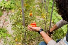 Organische rijpe Hand van jonge mensen die rijpe tomaten oogsten Stock Foto