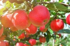 Organische, rijpe, sappige appelen op de takken van bomen in de tuin stock afbeelding
