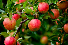 Organische rote reife Äpfel auf dem Obstgartenbaum mit grünen Blättern Stockbilder