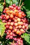 Organische roze druivenbos op de wijnstokboom Het concept van de oogst De herfst verlaat grens met diverse groenten op witte acht stock afbeelding