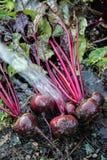 Organische Schmutzreinigung der roten Rübe Stockbilder