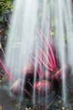 Organische Schmutzreinigung der roten Rübe Lizenzfreie Stockbilder