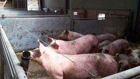 Organische Schweine Stockbild