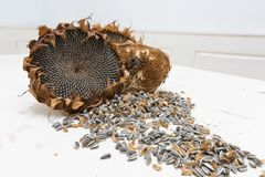 Organische Sonnenblumenköpfe Lizenzfreies Stockfoto