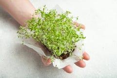 Organische spruiten van ontkiemde zaden in een hand op een witte achtergrond royalty-vrije stock fotografie