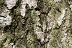 Organische textuur die uit de schors van een zeer oude berk bestaan stock fotografie