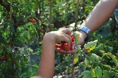 Organische Tomaten Lizenzfreies Stockfoto