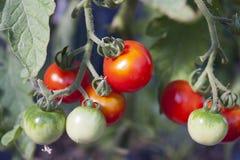 Organische Tomaten Lizenzfreies Stockbild