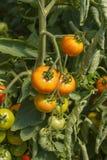 Organische tomaten in broeikas Royalty-vrije Stock Afbeelding