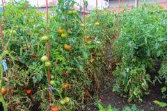 Organische Tomaten, die im Sonnenlicht draußen im Gemeinschaftsgarten reifen Lizenzfreies Stockfoto