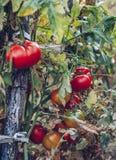 Organische tomaten in een serre Tuin Verse Rode Rijpe Tomaten Royalty-vrije Stock Foto's