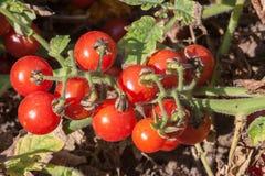 Organische Tomaten im Garten Satz Aufkleber und Embleme Lizenzfreies Stockbild