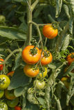 Organische Tomaten im Treibhaus lizenzfreies stockbild