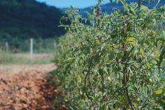 Organische tomatenaanplanting Royalty-vrije Stock Afbeeldingen