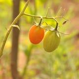 Organische tomatoes_011 Royalty-vrije Stock Foto's