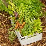 Organische Tuinoogst stock afbeeldingen