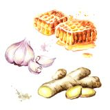 Organische verse gember, knoflook en honingsreeks Waterverfhand getrokken die illustratie, op witte achtergrond wordt geïsoleerd Stock Afbeelding
