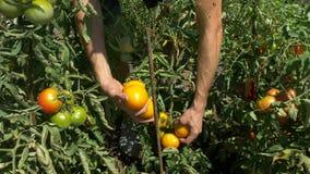 Organische verse groenten en vruchten De mens oogst tomaten in huistuin stock videobeelden