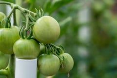 Organische wachsende Tomaten in einem Garten Stockbilder