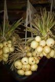 Organische weiße Zwiebeln und Schalotten, die am hölzernen Hintergrund hängen Stockfoto