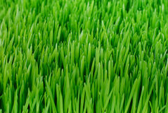 Organische Wheatgrass Stock Foto